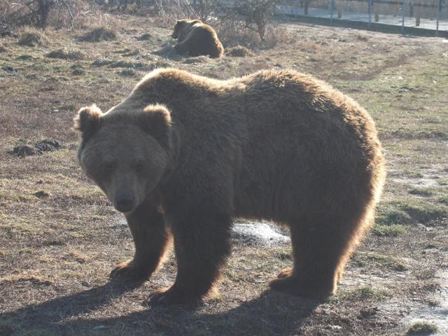 szex régi meleg medve