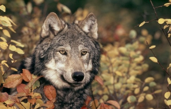 Canis lupus     Grey wolf     Rocky Mountains     Montana, United States of America     (A trained animal used for photography and filming)