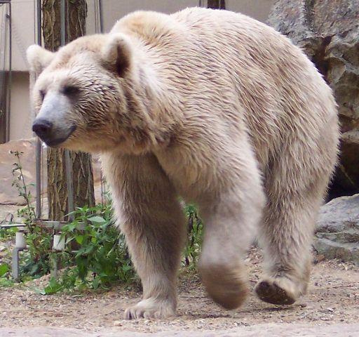 Szíriai barnamedve