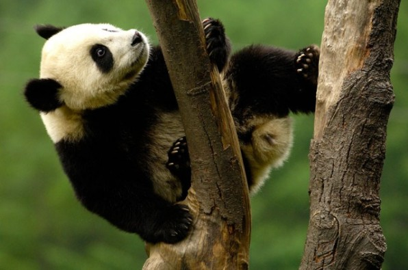 Juvenile Giant Panda (Ailuropoda melanoleuca) climbing a tree, Wolong China Conservation and Research Centre for the Giant Panda within Wolong Reserve, Sichuan Province, China 2006