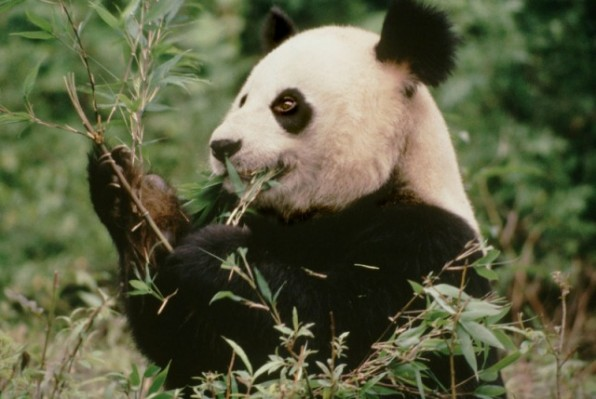Ailuropoda melanoleuca  Giant panda  An An, a 6 year old male, eating bamboo  Wolong Nature Reserve, China  Project number: CN0005  Project number: CN0022