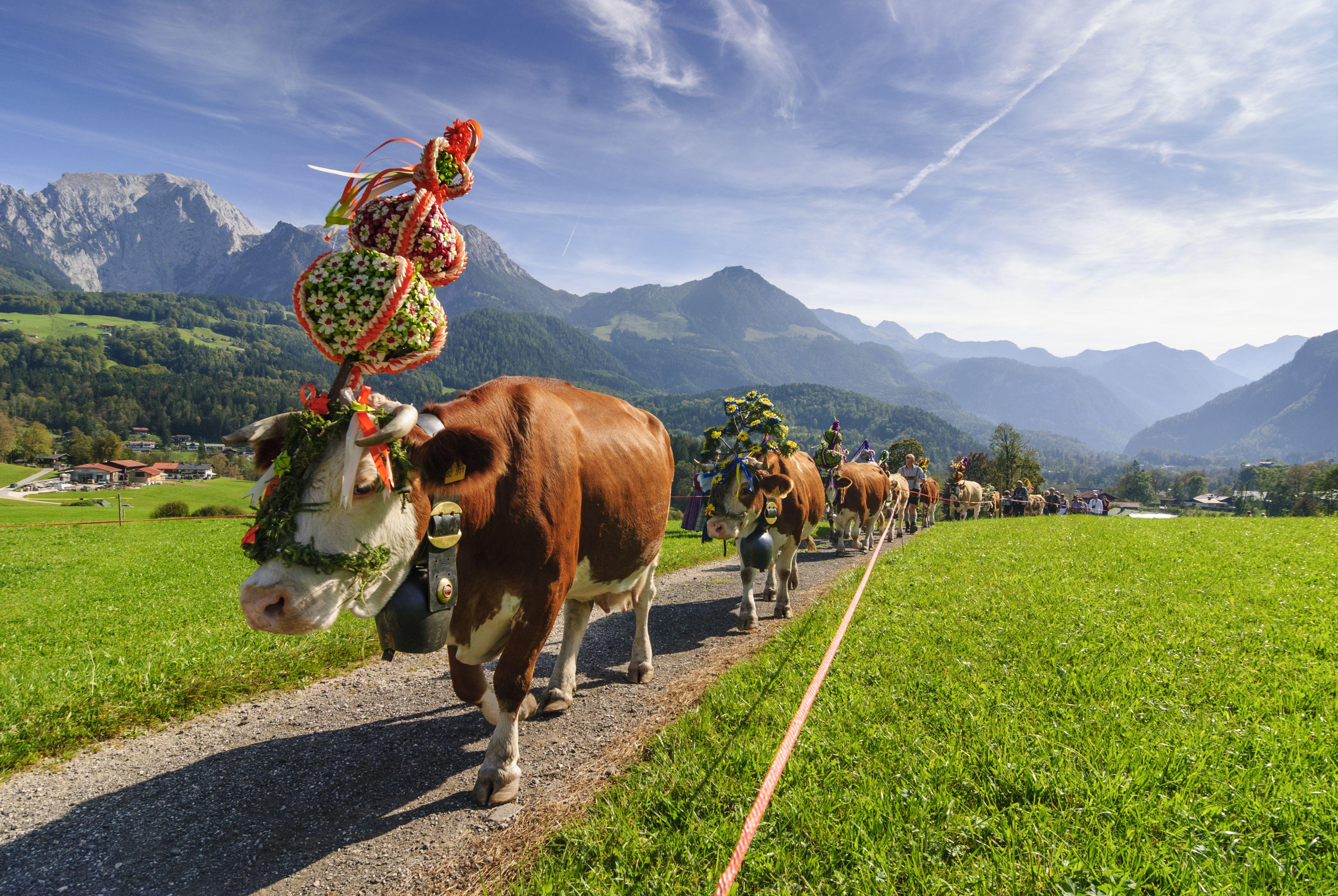 Almabtrieb der Kühe, geschmückt mit Fuikln