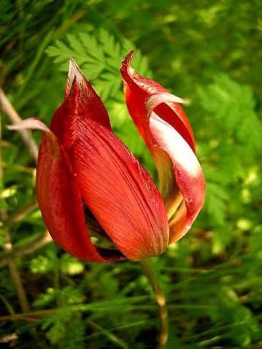nijat tulipan