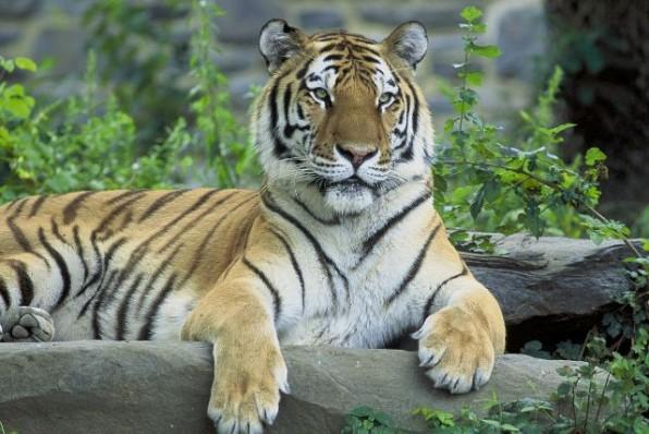 sziberiai_tigris