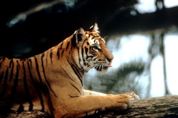 wwf tigris1