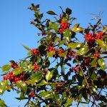 Legendás karácsonyi növények