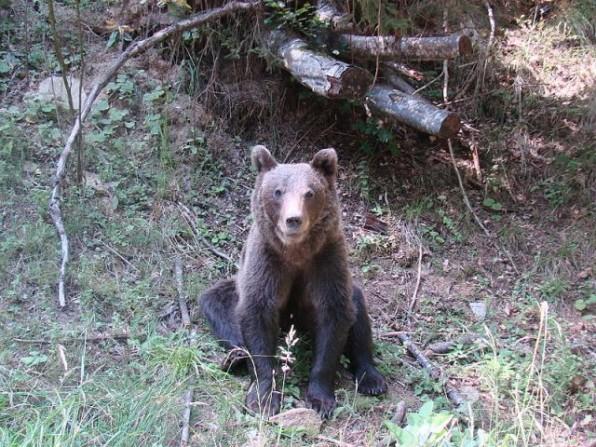erdelyi medve