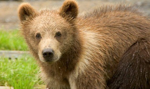 Te mit tennél, ha medvét látnál? – Képregény egy ember-medve randevú lehetséges kimeneteleiről
