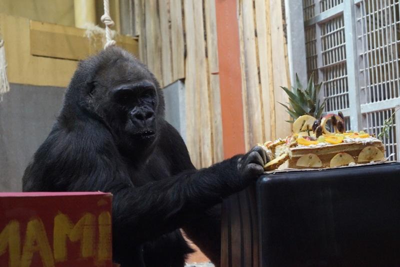 40. születésnapján köszöntötték Lieselt, a budapesti Állatkert gorilláját