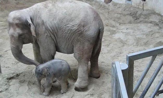 Szombattól látogatható az újszülött kiselefánt Budapesten