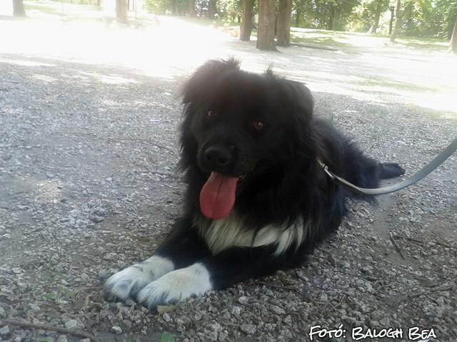 A border collie a világ legokosabb kutyája