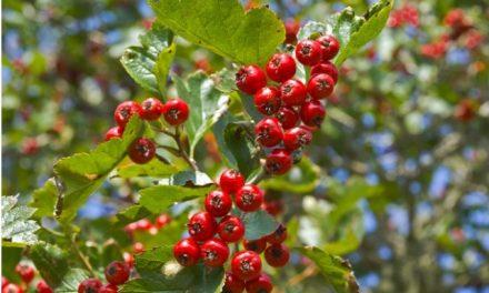 Őszi termések, bogyók a kamrában