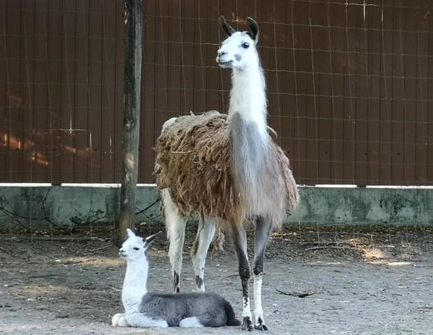 Fáklyafényes nyári este és újszülött lámacsikó a Kecskeméti Vadaskertben