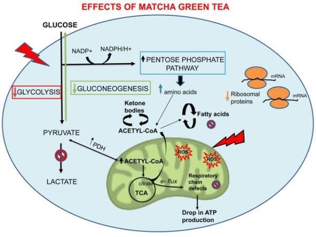Zöld teával megelőzhető a rák