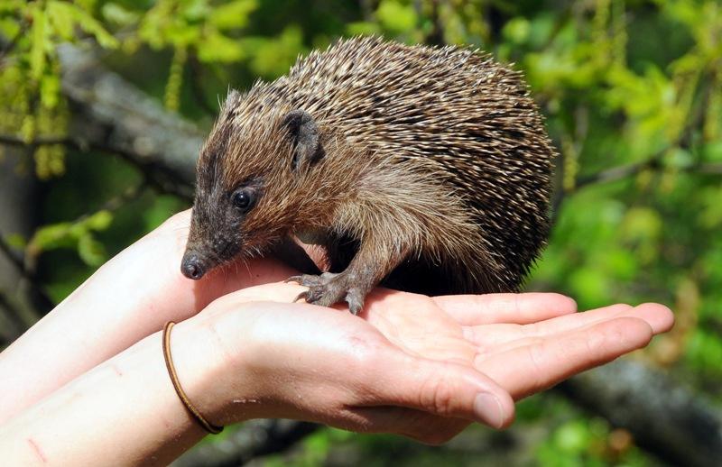 Segítsünk a sünöknek! – Az Állatkertben évente több száz mentett sünről gondoskodnak