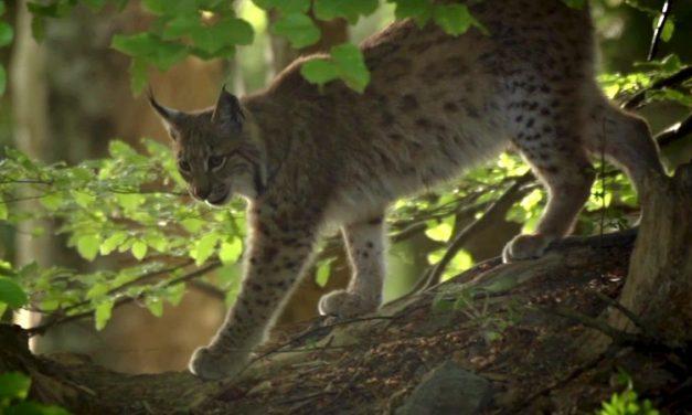Vad erdők – vad bércek – Egy ritka nagyragadozó nyomában