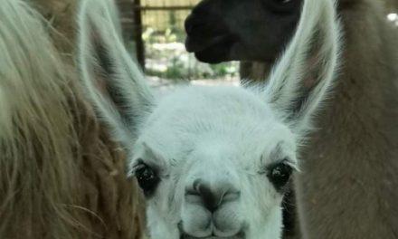 Hófehér lámacsikó született a Vadaskertben!