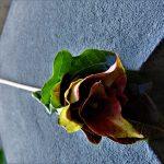 Őszi rózsák falevélből – Kreatív ötlet az őszi szünetre